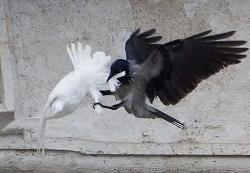 colomba corvo 1
