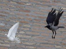 colomba corvo 2