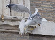 colomba corvo 3