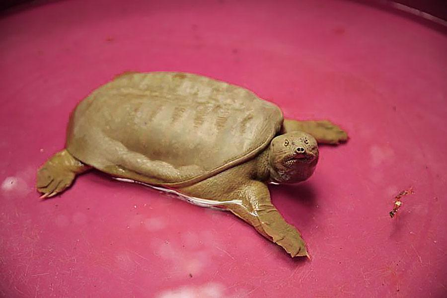Tartaruga Dal Guscio Molle.Trovata Tartaruga Aliena Nel Lago Di Garda Almanacco News