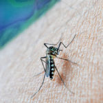 zanzara mussato