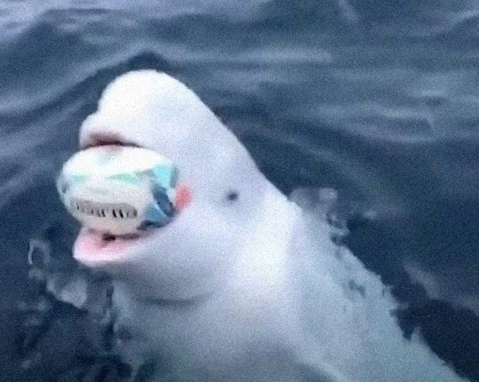 Beluga gioca a palla