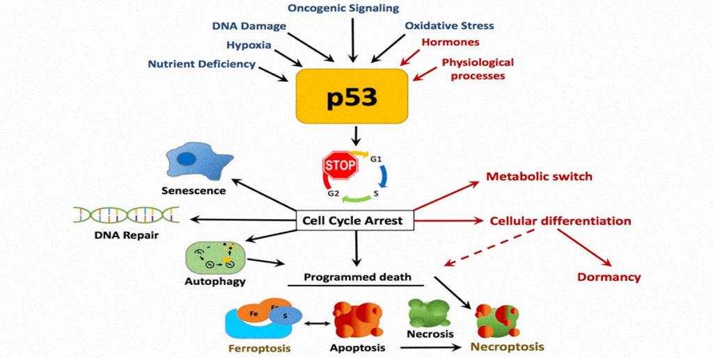 cancro tumore p53