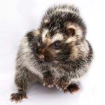 ratto crestato africano